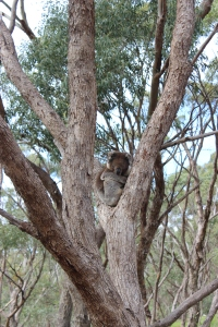 A koala tries to get some rest in the gum trees.