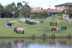 Horses graze along the Torrens River Linear loop.